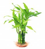 Growthing Green Beautiful Leaves Of Ribbon Dracaena, Lucky Bamboo, Belgian Evergreen, Ribbon Plant P