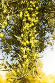 foto of kalamata olives  - Branch with green olives with blue sky - JPG