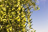 image of kalamata olives  - Branch with green olives with blue sky - JPG