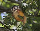 Common squirrel monkey, saimiri sciureus