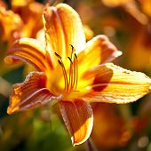 Beautiful orange tiger lily flowers blossoming in garden