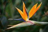 .Bird of paradise, Strelitzia reginae
