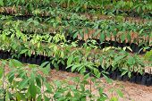 Seedlings Of Rubber Trees