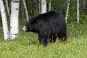 foto of wander  - American black bear wanders among the birches - JPG