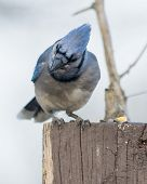picture of blue jay  - A Blue Jay perched on a wood post - JPG