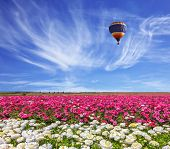 stock photo of buttercup  - Field of the blossoming buttercups  - JPG