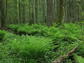 Old Natural Forest With A Lot Of Ferns
