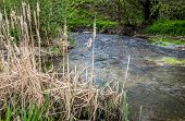 pic of bulrushes  - Creek and water plants at spring clody day - JPG