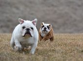 pic of chase  - two dogs running  - JPG