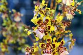 image of yellow orchid  - Blooming yellow with brown Orchids zigopetalum closeup - JPG
