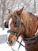image of sleigh ride  - Brown horse ready for sleigh ride close - JPG