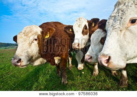 Friendly Cattles On Green Granzing Land Are Trusty poster
