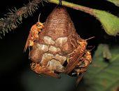 Hornets nest - Peru, Manu park