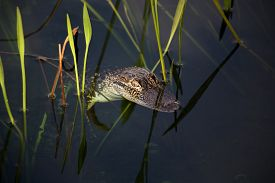 picture of gator  - young aligator resting on the lake - JPG