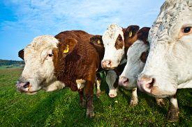 foto of cattle breeding  - friendly cattles on green grazing land are trusty  - JPG