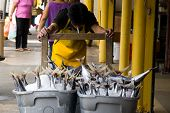 picture of yellowfin tuna  - Worker pushing containers full of Yellowfin tuna - JPG