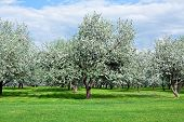 blooming apple trees garden in spring