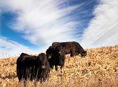 black angus cattle in south dakota
