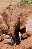 filthy baby elephant wallowing in mud bath