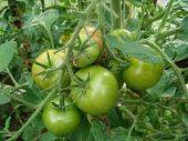 picture of tomato plant  - green tomatoes growing - JPG