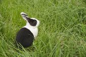 picture of peter cottontail  - black and white rabbit in the grass - JPG