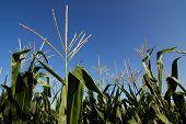 Corn Plantation Closeup