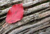 Red Leaf Weathered Wood poster