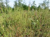 picture of ragweed  - Field of ambrosia - JPG