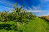 Rows of Honeycrisp apple trees in a commercial apple orchard. poster