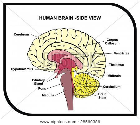 the human brain its parts and how they are connected to memory