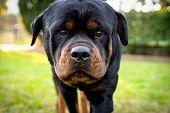 Amazing Rottweiler Portrait Outdoors. Beautiful Canine Muzzle, Close-up Photo poster