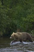 Adult Grizzly Bear hunts Salmon at Brooks Falls - Alaska