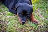 Beautiful Rottweiler Puppy Portrait Outdoors. Amazing Canine Muzzle, Close-up Photo poster