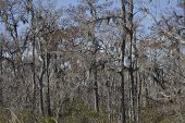 image of bayou  - Cypress Moss in a Bayou in New Orleans - JPG