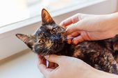 Woman Is Stroking Cute Tortoiseshell Color. Fluffy Pet. Pet Adoption Of Non-pedigreed Cat. poster