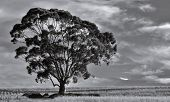 Landscape With Single Blue Gum Tree On Farmland poster