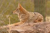 Coyote Resting On Desert Rock