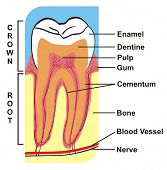 VECTOR - Cross Section of Tooth (Crown & Root) --- including the parts (enamel, dentine, pulp, gum,