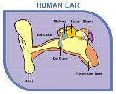 VECTOR - Human Ear - Including External, Middle & Outer Ear - Parts are Shown (Pinna, Ear Canal, Ear