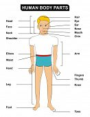VECTOR - Human Body Parts including ( head, face, neck, shoulder, elbow, waist, hand, leg, foot, hair, eye, ear, nose, mouth, chin, arm, fingers, thumb, knee, toes ) - Useful for School and Education