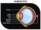 Human Eye Cross-Section including Eye Parts (sclera, lens, pupil, iris, cornea, retina, optic nerve