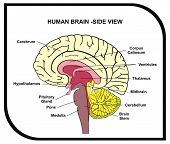 Human Brain Diagram - Side View with Parts ( Cerebrum, Hypothalamus, Thalamus, Pituitary Gland, Pons