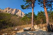 Ulsanbawi rock and hiking trail in pine trees forest in Seoraksan National Park, South Korea poster