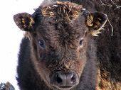 Black bison calf