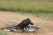 bathing warthog in Kenya