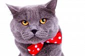 head of a cute big english cat wearing a red bow tie on white background
