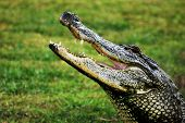 foto of crocodilian  - Profile of an adult American Alligator in Beaumont TX