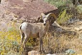 image of anza  - Desert Bighorn Sheeps In Anza Borrego Desert - JPG