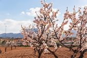 Blooming Almond Trees With Pink And White Flowers In A Spanish Orchard poster