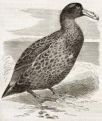Постер, плакат: Южный гигантский буревестник старый иллюстрация Macronectes гигантский Созданный Кречмер Опубликовано